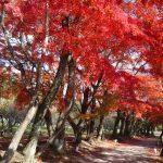 大覚寺【京都】の紅葉おすすめは?見頃はいつ?ポイントは?