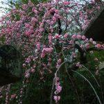 北野天満宮「梅花祭」2017年の開催日は?見頃とアクセス方法