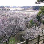 水戸・偕楽園「夜梅祭」2017年の開催日、見どころとアクセス方法は?