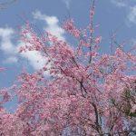 秋田県「角館」の桜まつり2017年見どころと開花時期は?アクセス方法