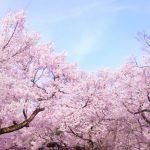 青森県の「弘前桜まつり」2017年開花時期と見頃は?簡単アクセス方法