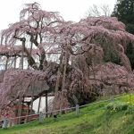 福島県「三春の滝桜」2017年ライトアップはされるの?アクセス方法